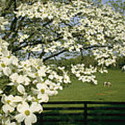 A Blossoming Dogwood Tree In Virginia Poster