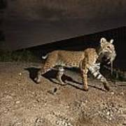 A Bobcat Crosses A Rio Grande Border Poster
