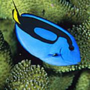 A Bright Blue Palette Surgeonfish Poster