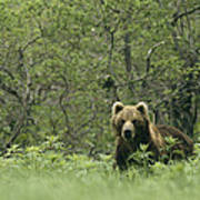 A Brown Bear In Tall Grasses Poster