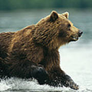 A Brown Bear Rushing Through Water Poster
