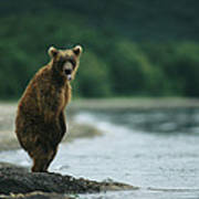 A Brown Bear Standing At Waters Edge Poster