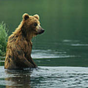 A Brown Bear Standing In Water Hunting Poster