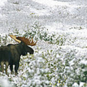 A Bull Moose On A Snow Covered Hillside Poster