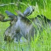 A Bull Moose Wading His Pond Poster