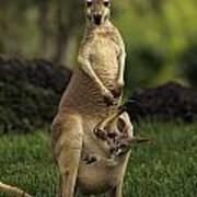 A Captive Red Kangaroo Macropus Rufus Poster