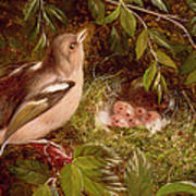 A Chaffinch At Its Nest Poster