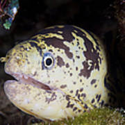 A Chain Moray Eel Peers Out Of Its Hole Poster