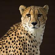 A Cheetah Acinonyx Jubatus Urinates Poster