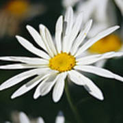 A Close View Of A Wild Daisy Poster