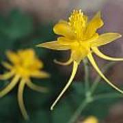 A Close View Of A Yellow Columbine Poster