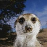 A Close View Of An Adult Meerkat Poster