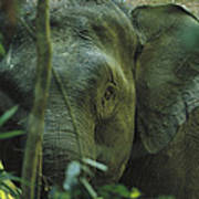A Close View Of An Asian Elephant Poster