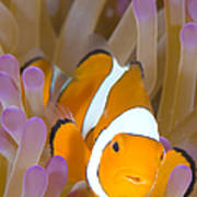 A Clown Anemonefish In A Purple Poster