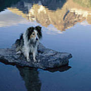 A Collie Perches Itself On A Rock Poster