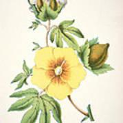 A Cotton Plant Poster