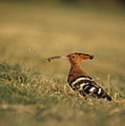 A Eurasian Hoopoe With An Insect Poster