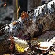 A Fallen Birch Still Claims Its Beauty Poster