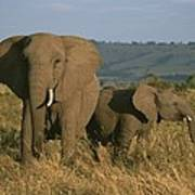 A Female Elephant With Her Baby Poster