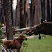 A Female Moose Nuzzles Her  Young Poster