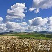 A Field Of Barley . Auvergne. France Poster