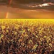 A Field Of Canola With A Rainbow Poster
