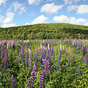A Field Of Lupines Poster
