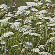 A Field Of Queen Annes Lace Poster