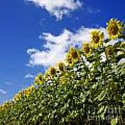 A Field Of Sunflowers . Auvergne. France Poster