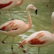A Flock Of Chilean Flamingos Wading Poster