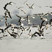 A Flock Of Laughing Gulls Larus Poster