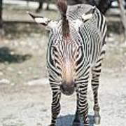 A Focused Zebra Poster