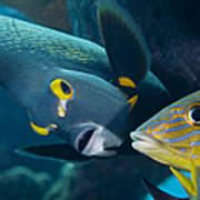 A French Angelfish Swims Up Close Poster