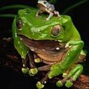 A Frog Phylomedusa Bicolor Perched Poster