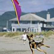 A German Shepherd Leaps For A Kite Poster