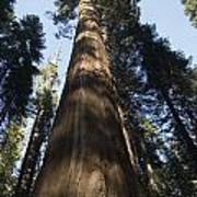 A Giant Redwood In The Mariposa Grove Poster