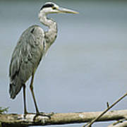 A Graceful Gray Heron Standing On A Log Poster
