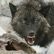 A Gray Wolf, Canis Lupus, Growls Poster