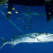 A Great Barracuda Beneath A Boat, Kimbe Poster
