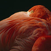 A Greater Flamingo With Its Head Poster