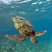 A Green Sea Turtle Diving In Clear Water Poster