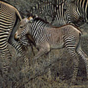 A Grevys Zebra With Young In Samburu Poster