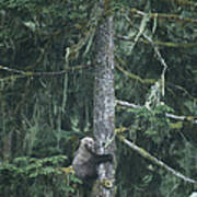 A Grizzly Bear Clings To A Fir Tree Poster