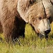 A Grizzly Bear Ursus Arctos Horribilis Poster