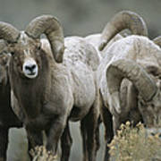 A Group Of Bighorn Sheep Rams Poster