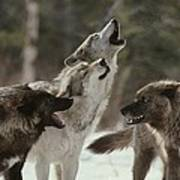 A Group Of Gray Wolves, Canis Lupus Poster