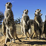 A Group Of Meerkats Standing Guard Poster