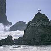 A Gull Sits On A Rock At Cannon Beach Poster