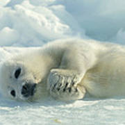 A Harp Seal Pup Lies On Its Side Poster