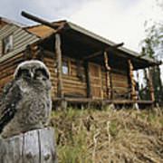 A Hawk Owl Sits On A Stump Near A Log Poster